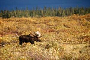 Bull moose at Nanuk Lodge 2013
