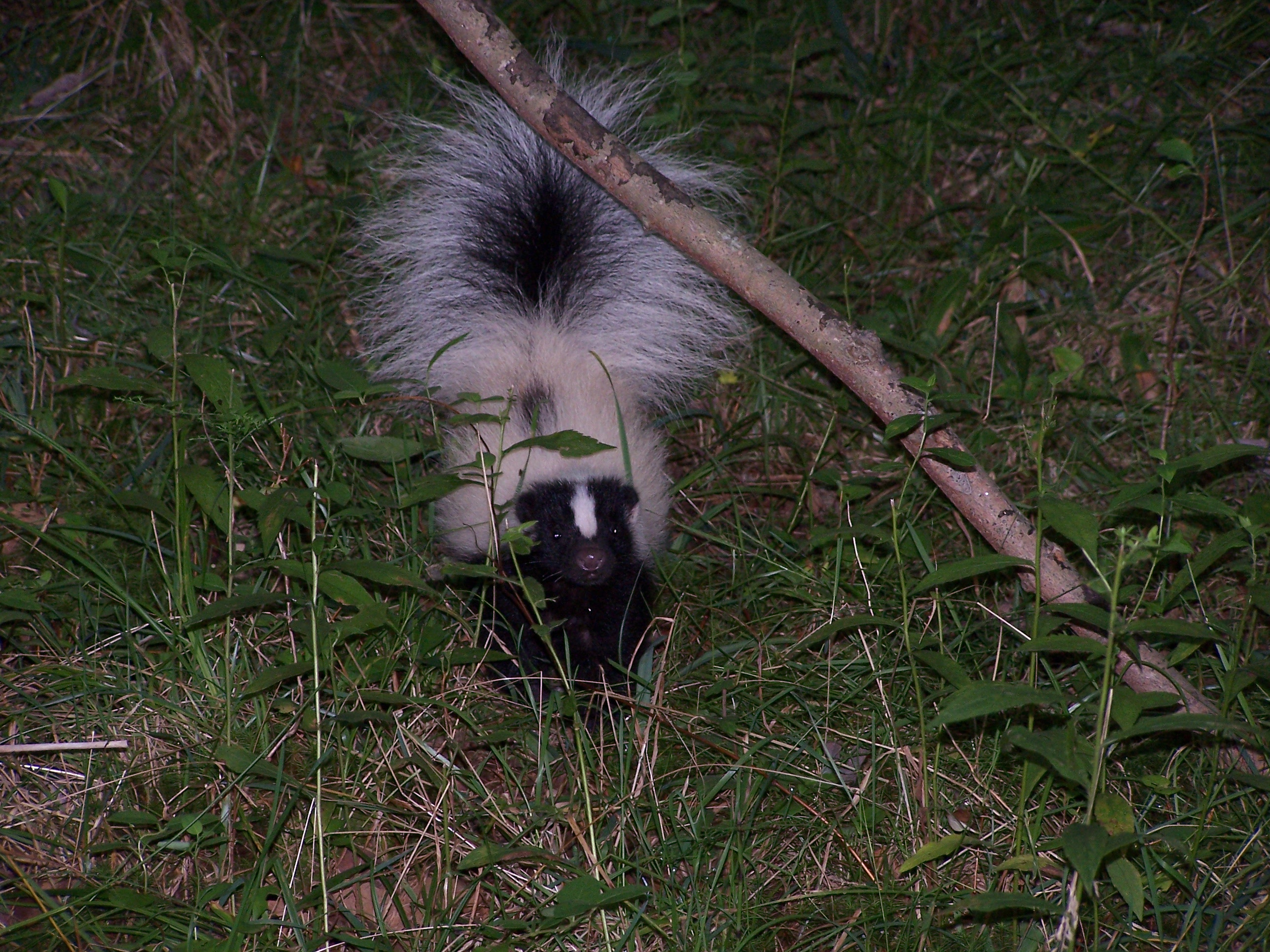 Elegant Wildlife Removal How To Get Rid Jump Skunks Rf Wildlife Control Can Skunks Climb Into Attics Can Skunks Climb houzz 01 Can Skunks Climb