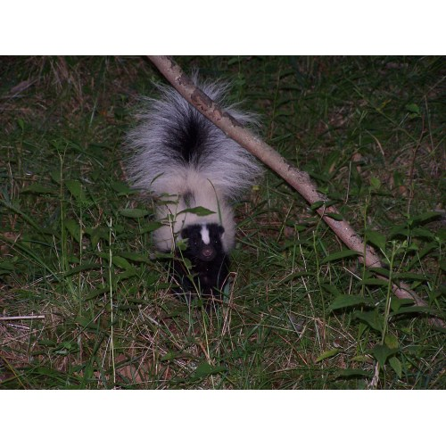 Medium Crop Of Can Skunks Climb