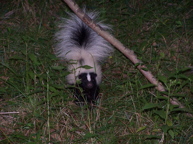 Large Of Can Skunks Climb