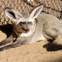 The Bat Eared Fox (Otocyon megalotis) lives in Africa, and derived its name from having ears over 5 inches long. These foxes have unique teeth different from their cousins due to a main part of their diet being insects. Some of their favorite insects include termites, beetles, and crickets.