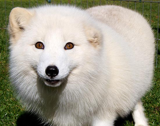 Sitka the Arctic Fox