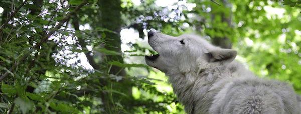 Atka howl