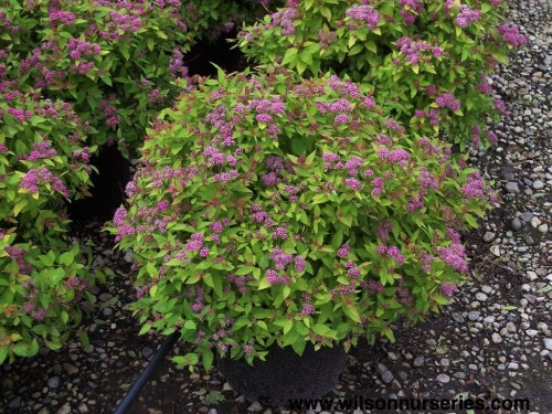 Glancing A Compact Shrub Foliage That Turns An Range Colorsthroughout Foliage Emerges A Deep Reddish Turning Magic Carpet Japanese Spirea Wilson Nurseries