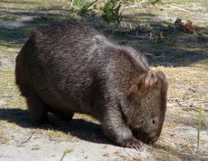 china_wombat
