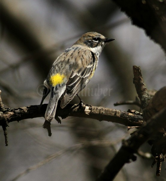 yellow-rumped warbler Archives - Window to Wildlife ...