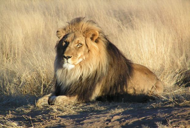 African lions are endangered, but Americans continue to kill them and ship their body parts home for use as decor.
