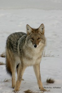 RF coyote in snow