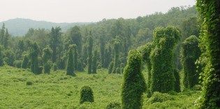 Kudzu – NOT YET IN REGION