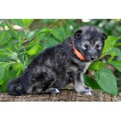 Small Crop Of Wolf Hybrid Puppies