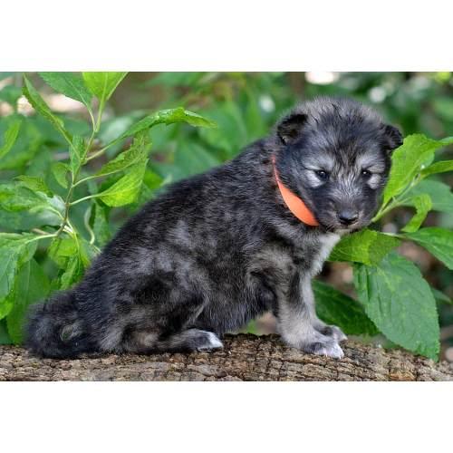 Medium Crop Of Wolf Hybrid Puppies