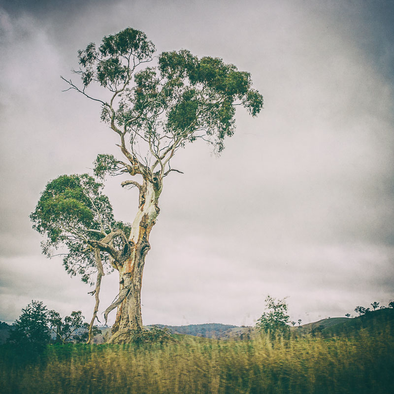 Gnarly-old-gum-tree