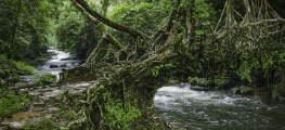 living roots bridge, Meghalaya