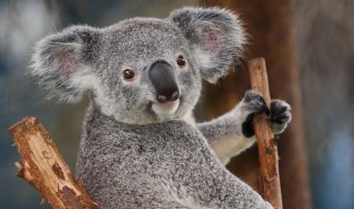 Cute Koala Bears