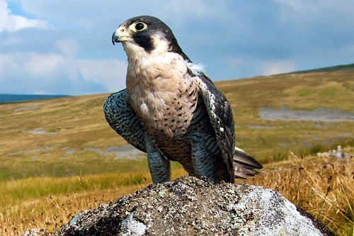 Peregrine Falcon - (Superspeed)