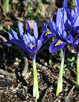 Free Gift with Certain Orders: Iris Harmony