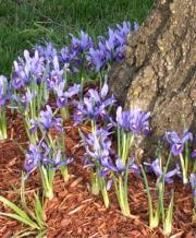 iris harmony_1
