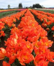 monte orange_1