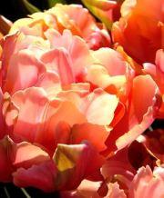 sweet pink_2