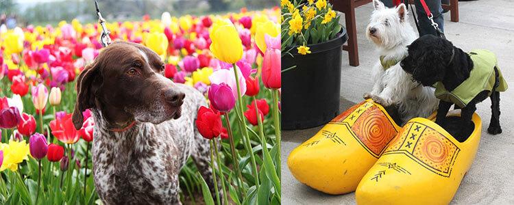 tulip-fest-gallery4