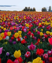 tulip_field_mix_1