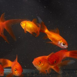Small Of How Long Do Goldfish Live