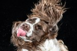 Coker spaniel moviendo la cabeza en close up