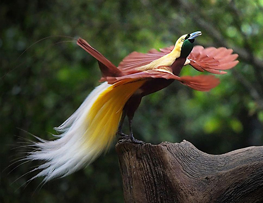 LESSER BIRD OF PARADISE LIFE EXPECTANCY Picture of a lesser bird of paradise  paradisaea minor