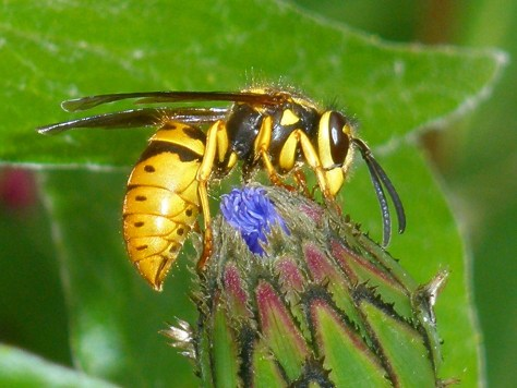 Yellow Hornet 1