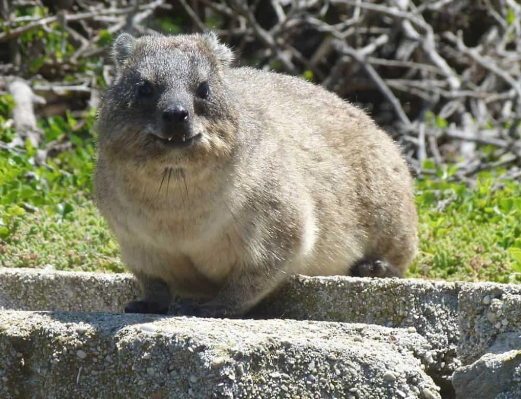 Dassie at the Stony Point Sanctuary, South Africa - www.worldwidewriter.co.uk