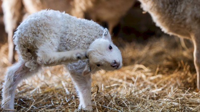 This is a Dala fur sheep lamb - one of several rare native species kept at Nordan's Ark in Sweden, who run a sponsorship and adoption programme for all their endangered animals, and from whom we borrowed this amazing photo. Check out their website here