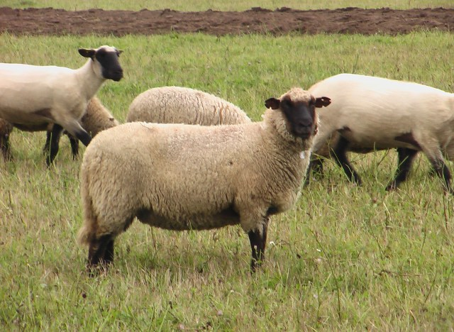 Lietuvos juodgalvės avys - Lithuanian Blackface sheep, image found here on the website of the Lithuanian farm animal genetic resources coordination centre
