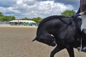 Black horse ridden in rollkur or extreme hyperflexion during a competition warmup