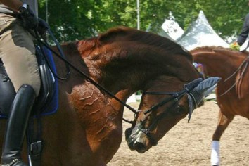 A beautiful chestnut horse is pulled into hyperflexion at the trot