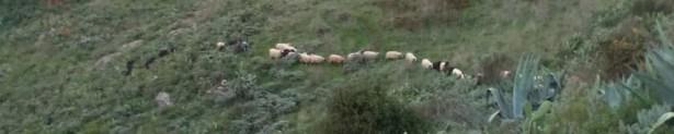 más ovejas
