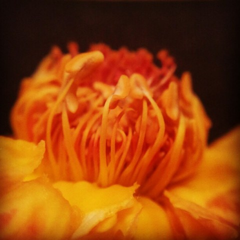 Inside rose