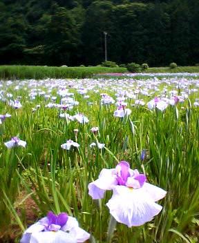 花ショウブの畑
