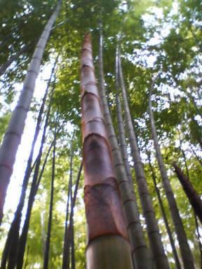 伸びる竹の子
