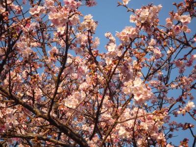 見頃を迎えた城ヶ崎桜