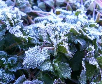 霜にあたった草