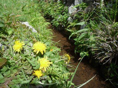 土手に咲くタンポポ