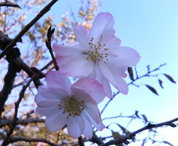 きれいに咲いた10月桜