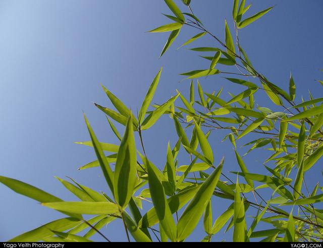 Bamboo_BlueSky2