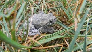 Santa Frog 1