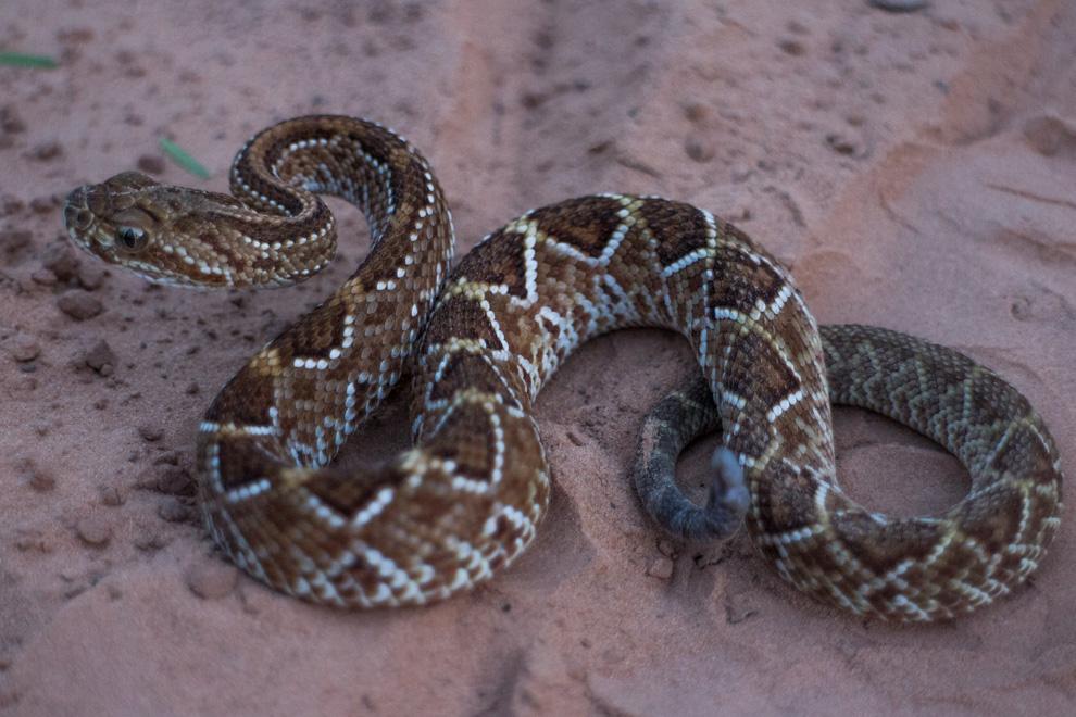 La serpiente de cascabel o mboi chini (Crotalus durissus) es dueña de una neurotoxina con 75% de mortalidad en caso de que la persona mordida no sea tratada. Esta fotografía tan cercana fue posible gracias a que teníamos cerca a profesionales en manejo de serpientes quienes nos asesoraban. Las serpientes venenosas muerden como mecanismo de defensa cuando se sienten amenazadas, en su naturaleza no está el acechar y atacar al hombre. (Tetsu Espósito)
