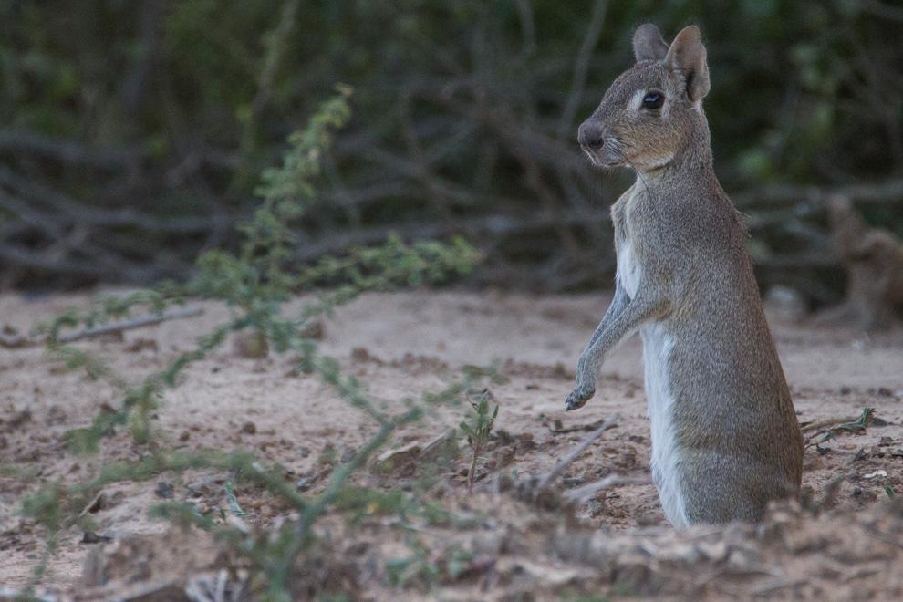 Tapiti boli (Dolichotis salinicola). Si bien no es un conejo, se le dice tapiti por su apariencia. Es un roedor mediano, que vive solo en Argentina, Paraguay y Bolivia. Viven en pequeños grupos y es bastante común verlo en el chaco seco en horas de la tarde. (Tetsu Espósito)