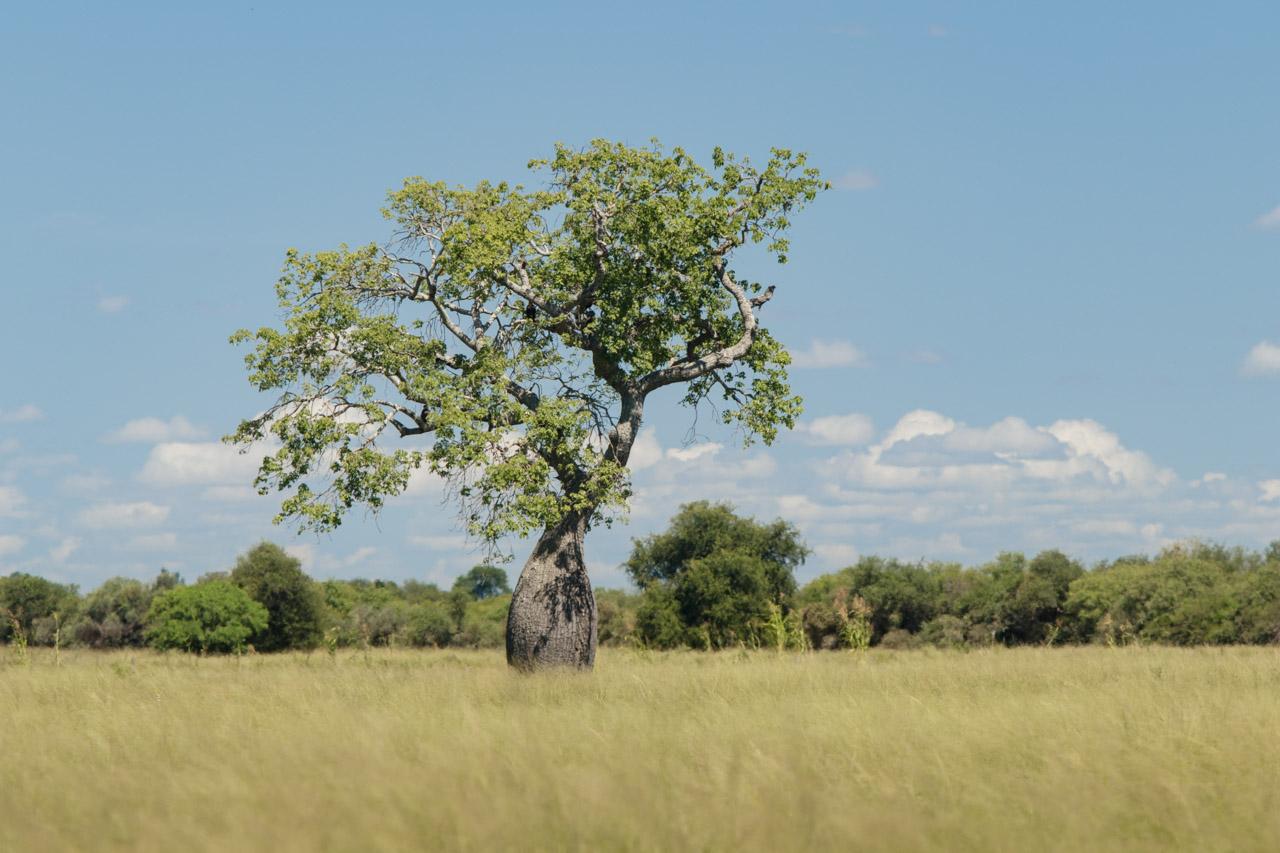 El Palo Borracho (Ceiba chodatii), más conocido como el Samu'u, es una especie común en los paisajes del Chaco, con su reconocida forma de botella, en donde almacena agua en tiempos de sequía. (Tetsu Espósito)