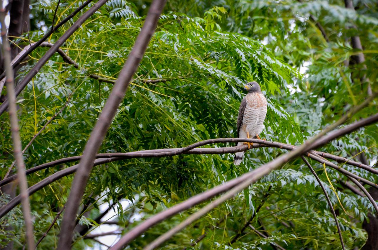 El Taguato común (Rupornis magnirostris) mide cerca de 40 centímetros y pesa 400g aproximadamente, se alimenta de insectos, pequeños mamíferos y reptiles. Le gusta habitar en el bosque, como en este caso lo encontramos en Puerto La Niña, en San Pedro. (Elton Núñez).