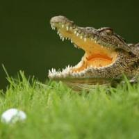 The Case of the Crocodile in the Golf Club