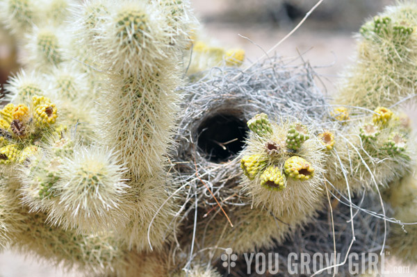 Cactus Wren Nest in a Cholla at Joshua Tree